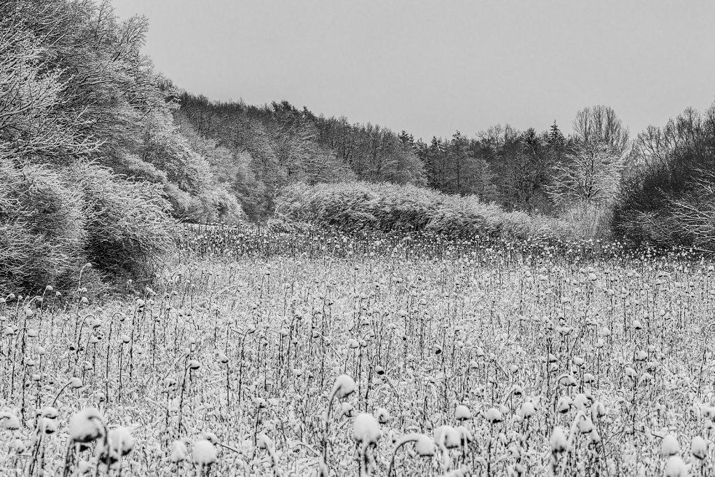 Sonnenblumenfeld bei Bammersdorf